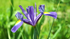 Blue Iris Flower in Sun With Bugs Stock Footage