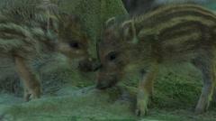 Boar piglet in a german forest Stock Footage