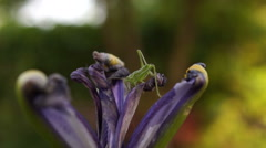 Withered Iris With Cricket Changing Position , Macro,Yellow Background Stock Footage