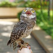 Spotted owlet or athene brama bird Stock Photos