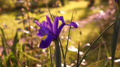 Blue Iris Flower in Spring Wind Stock Footage