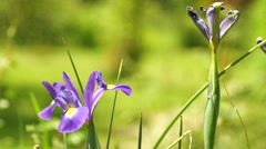 Blue Iris Flower in Spring Wind With Another Withered Iris Stock Footage