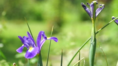 Blue Iris Flower in Spring Wind With Another Withered Iris With Ant - stock footage