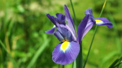Blue Iris Flower in Sun Stock Footage