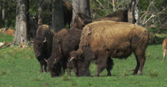 Herd of American Bison at a Wildlife Preserve Stock Footage