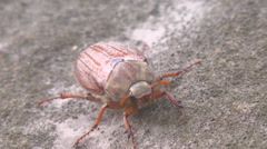Cockchafer soared Stock Footage