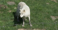 Wild White Wolf - Walking in the Grass Stock Footage
