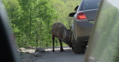Ibex eating food from tourists at a wildlife preserve Stock Footage