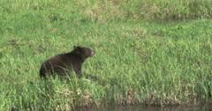 Black Bear running through a field - 4K Ultra HD Arkistovideo