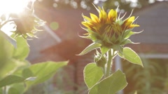 A sunflower back lit in the morning. - stock footage