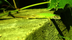 Lizard Warming in The  Morning Sun Under a Vine Leaf Stock Footage