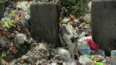 Street dog eating garbage with flies, medium shot Stock Footage