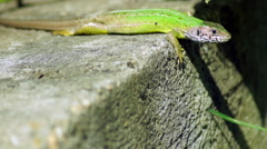Little Lizard Warming in The  Morning Sun Under a Vine Leaf Stock Footage