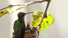 Hummingbird arrives to the nest and fed her babies then flies away. Stock Footage