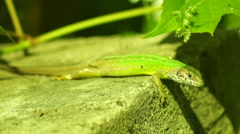 Green Lizard Warming in The  Morning Sun Under a Vine Leaf Stock Footage