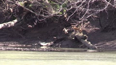 Red fox running up river bank wildlife Stock Footage
