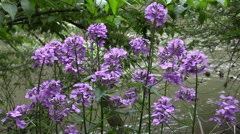 Wild phlox on river bank nature scenic Stock Footage