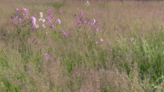 Open field of grass with wild phlox nature scenic Stock Footage