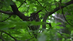eastern screech owl in forest nature wildlife - stock footage