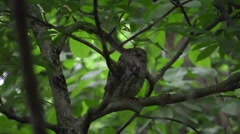 Eastern screech owl in forest nature wildlife Stock Footage