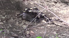 Nature wildlife mother wood duck hides with young Stock Footage