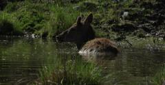 Majestic Deer Cooling off in a Pond - Wilderness Beauty Shot Stock Footage