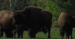 A bison in a herd urinating Stock Footage
