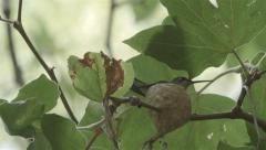 Hummingbird Flying Landing on Nest Stock Footage