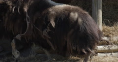 Musk Ox at Wildlife Preserve Stock Footage