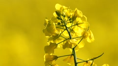 Stock Video Footage of yellow rape in springtime