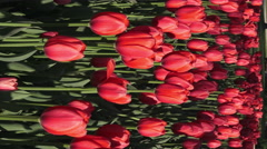 Field of colorful Tulips/ 4k Vertical Floral footage Stock Footage