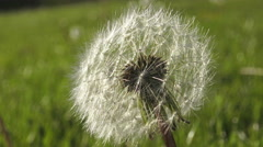 Dandelion flower with smaller florets/ 4k Flower footage Stock Footage