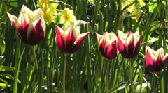 Bright and beautiful multi-colored Tulips/ 4k Floral footage Stock Footage