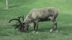 Reindeer eats some grass - stock footage