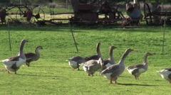 A flock of Cape Barren Geese waddle around farmland Stock Footage