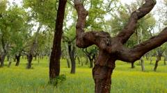 4K Portugal Cork oak tree plantation Stock Footage