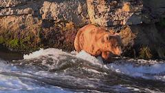 Alaskan Brown Bear Seeking Fish Crosses Strong Currents in River Stock Footage