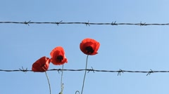 Red poppies and barb wire contrast Stock Footage