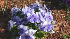 4K Violet Pansies, Springtime colorful flowers Stock Footage