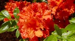 4K orange Azalea flower in breeze, springtime Stock Footage