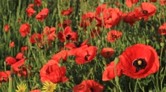 Field of red poppies Stock Footage