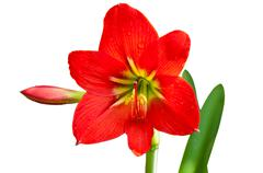 Beautiful red lily Stock Photos