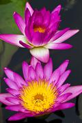 Lotus flower blooming at thailand Stock Photos
