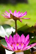 Stock Photo of Lotus flower blooming at thailand