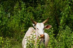 Asian lineage cow in tropical field Stock Photos