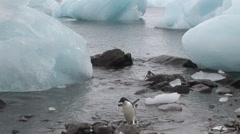 Adelie Penguins running between icebergs Stock Footage