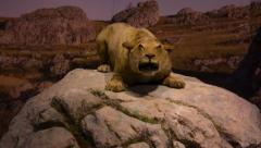 Cave lion , reconstitution Stock Footage
