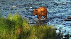Brown Bear Sow Being Pursued Up the River by a Boar in Sweet Evening Light Part2 Stock Footage