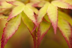 Close up of acer palmatum leaves Stock Photos