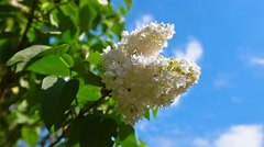 blooming lilac against cloudy sky - stock footage